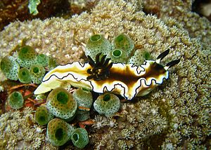 English: Glossodoris atromarginata at The Drop...