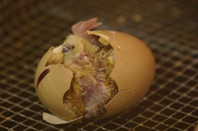 File:Hatching.jpg