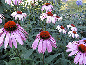 English: Echinacea purpurea blooms in a flower...