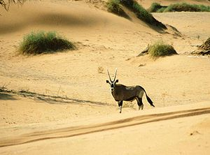 English: Gemsbok (Oryx gazella), Sossusvlei, N...
