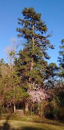 Pinus Glabra Wikipedia