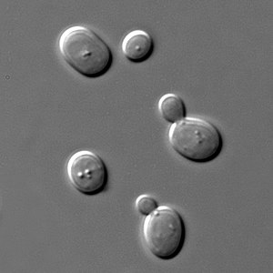 Sacharomyces cerevisiae cells in DIC microscop...
