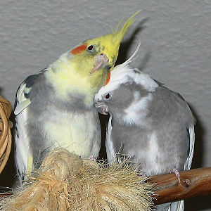 Nymphensittichpaar links= wildfarbig gescheckt...