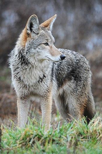 English: Coyote at Ridgefield National Wildlif...