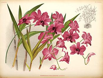 English: Dendrobium phalaenopsis (Dendrobium b...