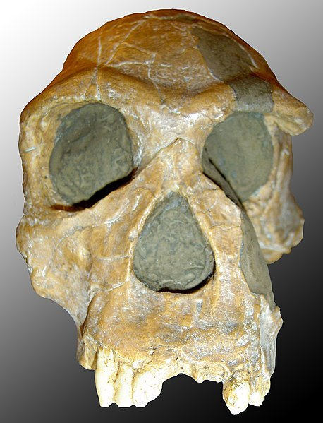 File:Homo habilis.jpg
