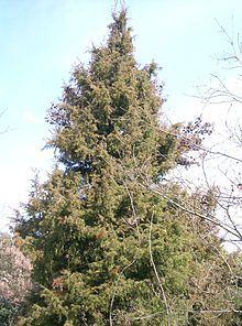 Juniperus Rigida Wikipedia