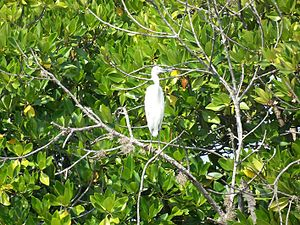English: Little Egret (egretta garzetta) in Pi...