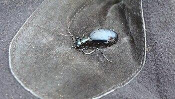 Short-Winged Blister Beetle, Meloe angusticollis