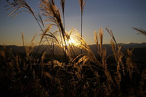 English: Susuki (Miscanthus sinensis) in Japan