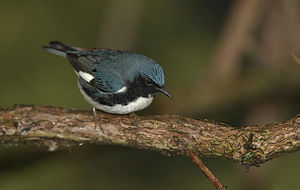 English: Black-throated blue warbler