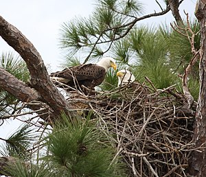 Pair of Bald Eagles (Haliaeetus leucocephalus)...