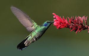 English: Green Violet-ear -- Finca Lerida, Boq...