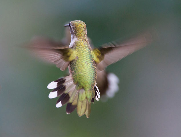 Hummingbird aerodynamics of flight. By Dan Pancamo