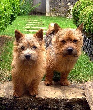 English: Two Norwich Terriers with the color r...