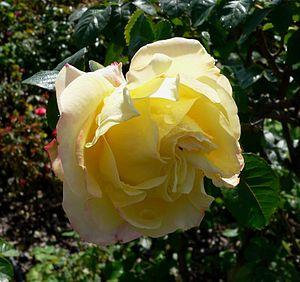 The Hybrid Tea rose, 'Peer Gynt'