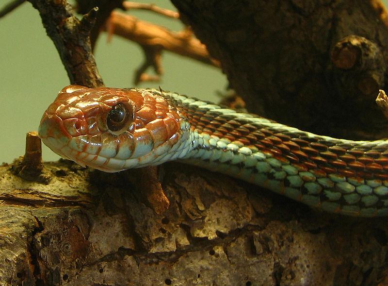 Afbeelding:Thamnophis sirtalis tetrataenia (2005 10 16) - uitsnede.jpg