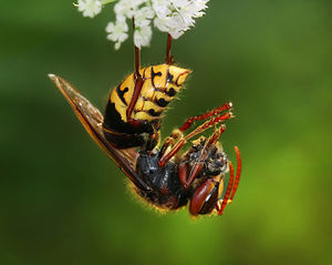 European hornet with the remnants of a honey bee