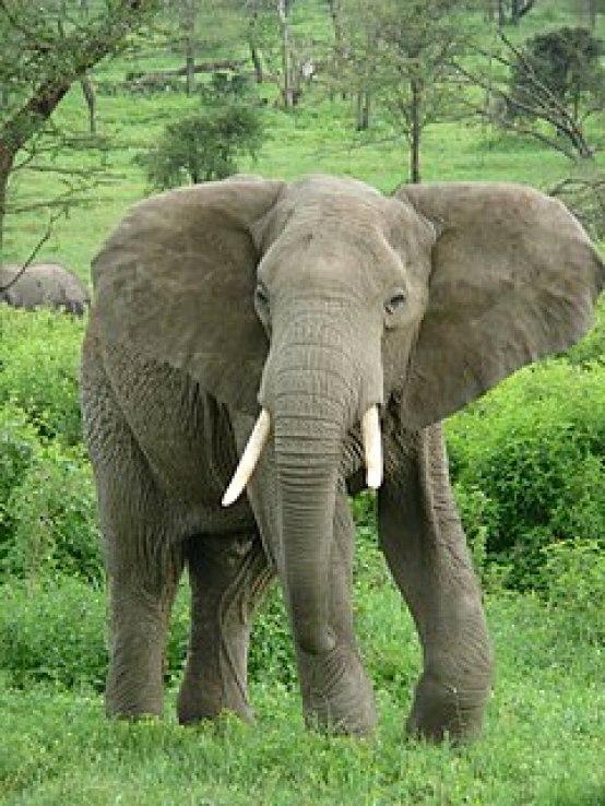 Elefante-da-savana, um das espécies de elefante-africano