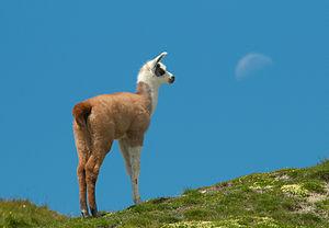 young Lama Pyrénés (France)
