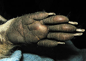 English: Close-up of a front paw of the raccoo...