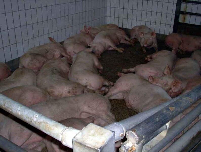 File:Pigs-lying.jpg