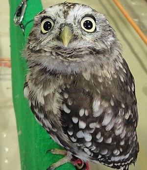 English: Sunda Scops-owl 日本語: オオコノハズク