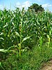English: Zea mays, Poaceae, Maize, habitus. St...