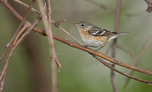 English: bay-breasted warbler