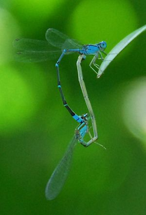 Blue damselflies mating over a pool in Bali, I...