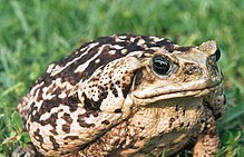 A large, adult cane toad, showing the light colouration that is present in some specimens of the species.