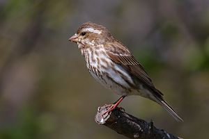Purple Finch (Carpodacus purpureus) female, Ca...