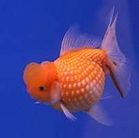 "A pearl scale goldfish from The 6th ""Pramong N..."