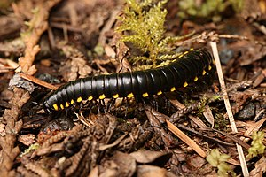 Yellow-spotted Millipede, Almond-scented Milli...