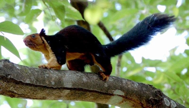 File:Malabar giant sqirrel.jpg