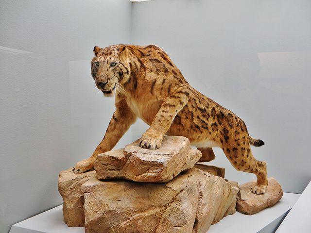 Recreación de Megantereon, felino al que seguía el Homo ergaster como cleptocarroñero