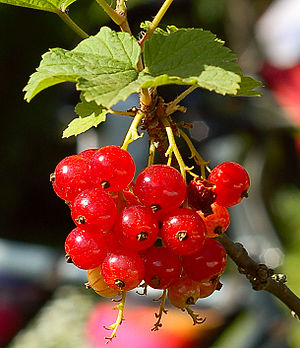 Red Currant 50 mm/1.8