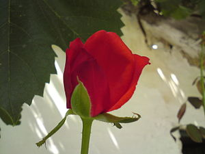 English: Red Rose (1st Day)