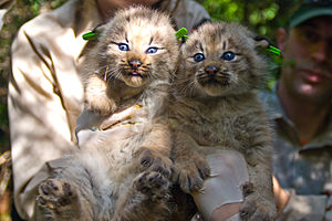 Two Canada Lynx kittens after being processed....