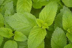 English: lemon balm Deutsch: Zitronenmelisse