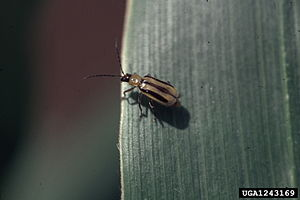 English: Western corn rootworm (Diabrotica vir...