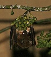 Greater short-nosed fruit bat (Cynopterus sphinx) feeding on Kapok (Ceiba pentandra) at night in Kolkata W IMG 3877.jpg