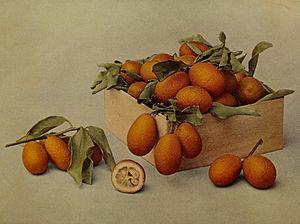 English: Fortunella (Kumquat)