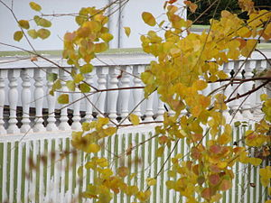 Leaves ready to fall from a tree in Islamabad,...