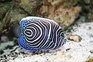 Our new baby Emperor Angelfish (Pomacanthus im...