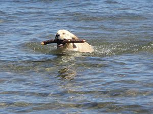 English: Golden Retriever Retrieving In Water