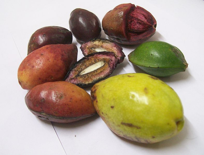 File:Terminalia catappa fruits at various stages of ripeness-1.JPG
