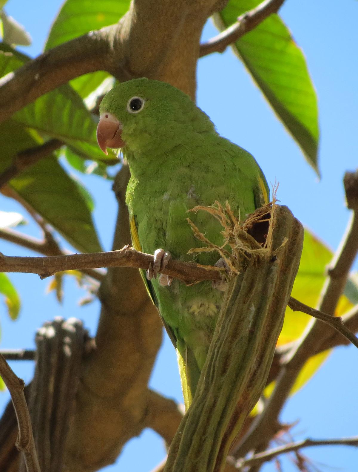 Yellow Chevroned Parakeet Wikipedia
