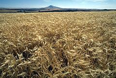 Ladang jelai