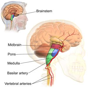 Basilar artery  Wikipedia